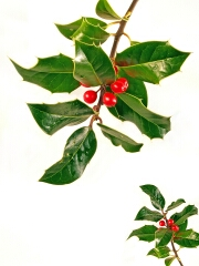 Symbols of Christmas Holly
