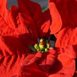 Christmas Flowers-A Beautiful Way To Wish Your Loved Ones Merry Christmas